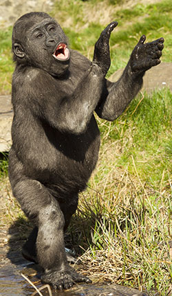 Clapping Gorilla
